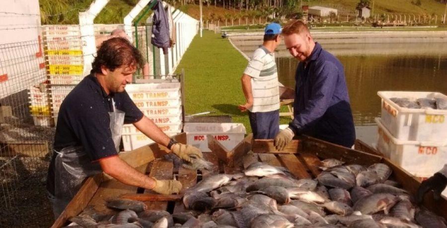 A força da piscicultura catarinense