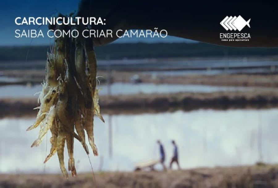 Carcinicultura: Saiba como criar camarão