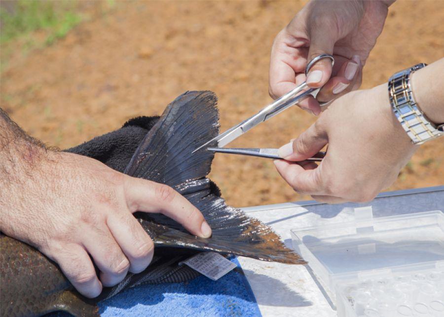Cientistas sequenciam genoma de peixes brasileiros