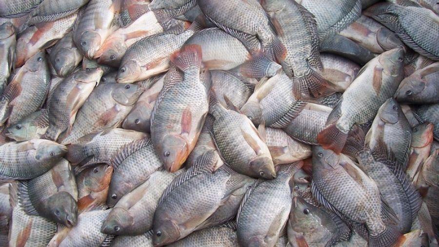 Criação de tilápia, peixe mais consumido no Brasil, teve alta de 8% em 2017