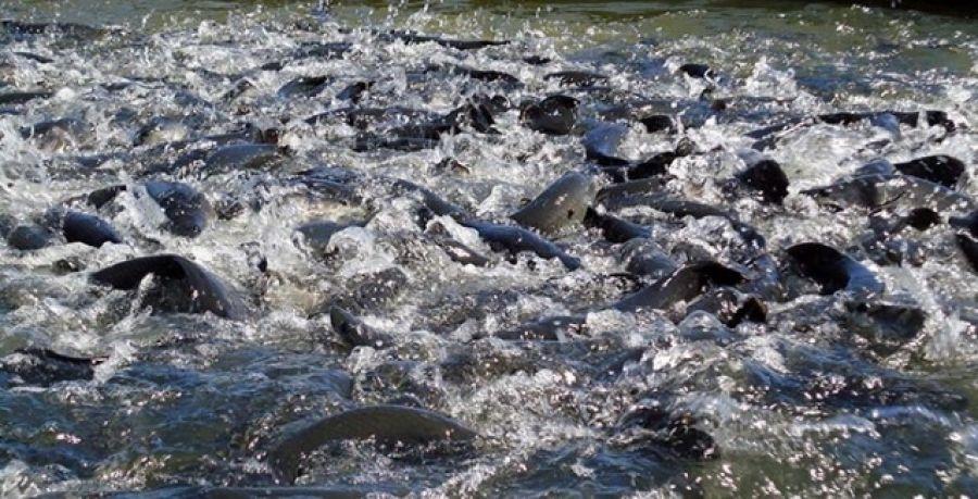 Manejo adequado reduz impactos do frio na piscicultura