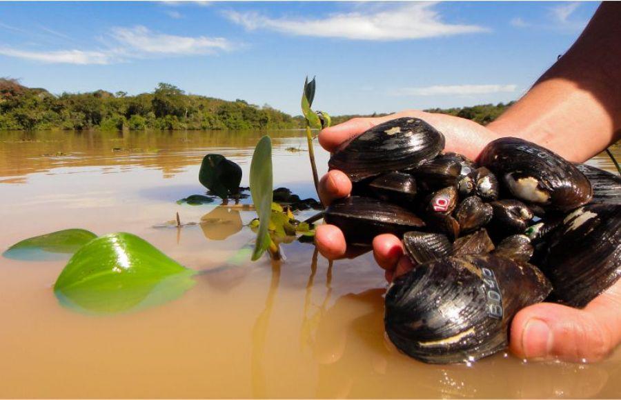 Os moluscos bivalves de água doce do Brasil – Potencial ainda não aproveitado pela aquicultura