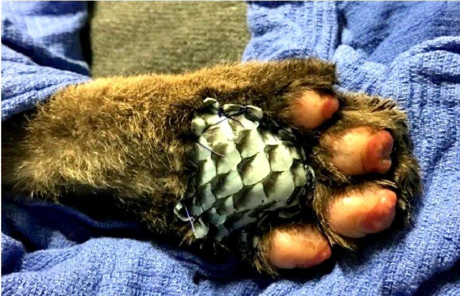 Pele de tilápia pode ajudar também no tratamento de queimaduras em animais