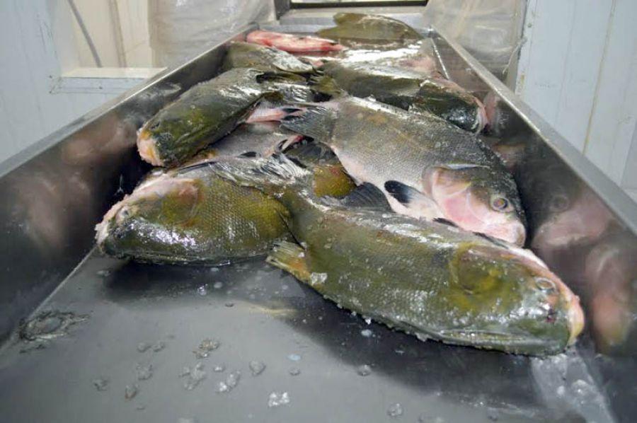 Pescado de Rondônia está em alta
