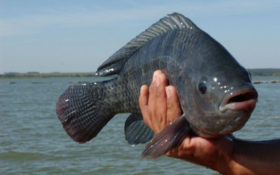 Principais doenças na piscicultura