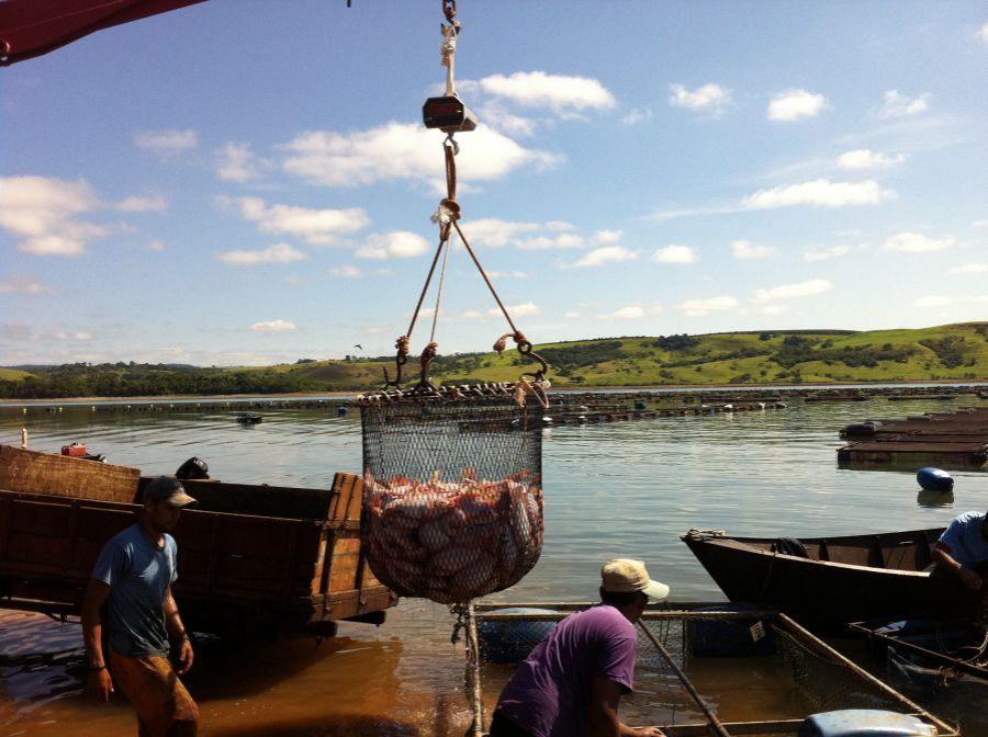 Tudo que você precisa saber sobre despesca na piscicultura