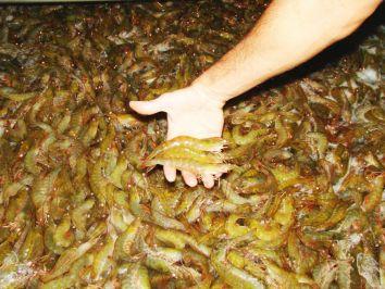 Criação de camarão em cativeiro gera lucros para produtores