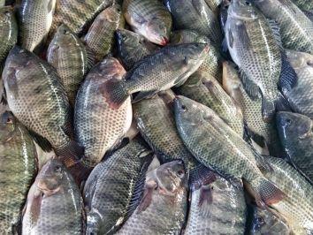 Espécies de peixes populares na piscicultura brasileira - parte 2