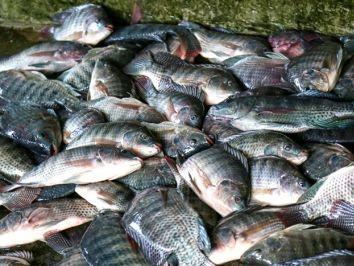 Riqueza rural: Schroeder terá o primeiro abatedouro de peixes da região
